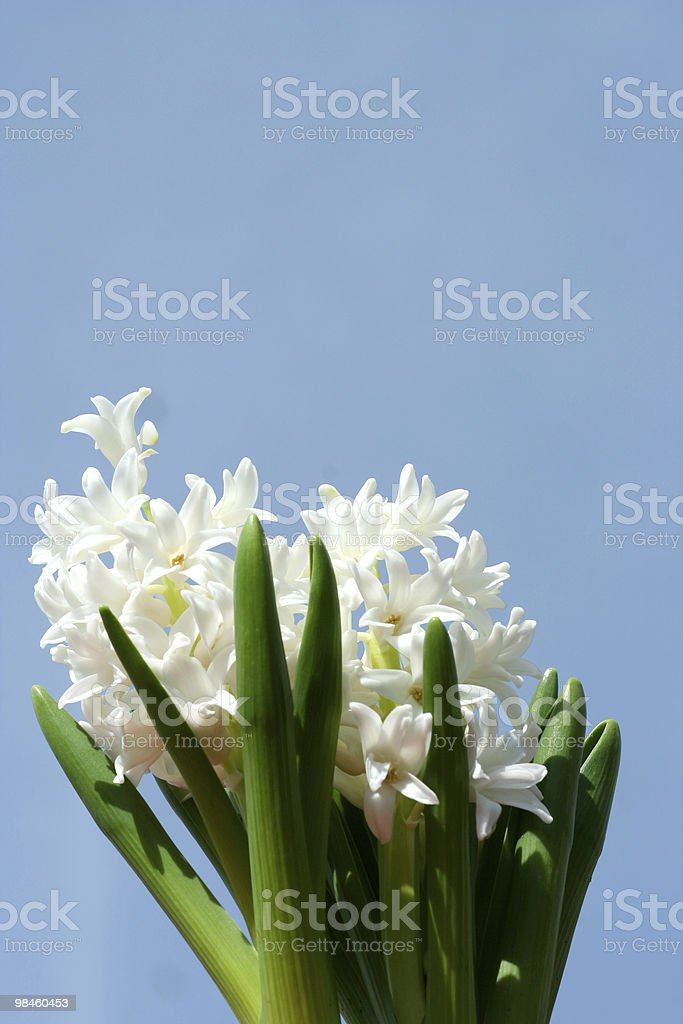 Spring hyacinths royalty-free stock photo