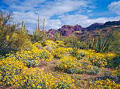 Spring Brittlebush blossoms carpet the desert below The Supertition Mountains in the Tonto National Forest near Phoenix Arizona