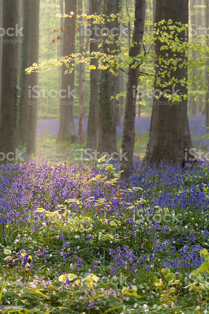 spring in beech forest with blue flowers stock photo