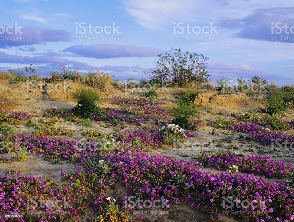 Spring In California Desert (P) stock photo