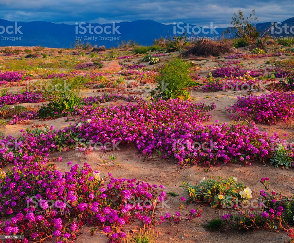 Spring In California Desert stock photo