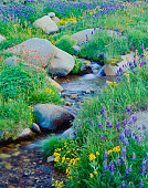 Alpine meadow with lupine and other spring wildflowers in the Sierra Nevada Range, CA
