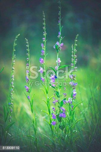 Spring in Colorado. Field of beautiful purple wildflowers
