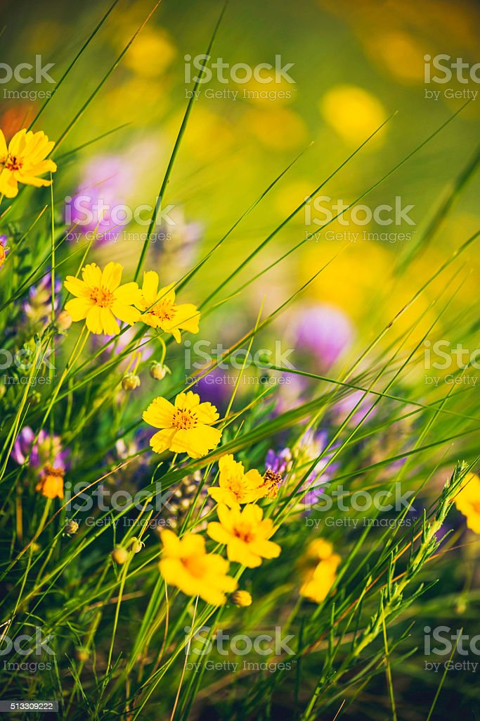 Spring in Colorado. Field of wildflowers with buttercups and clover stock photo