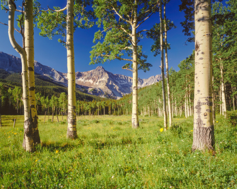 Spring alpine basin with aspen trees below Mount Sneffles in The Uncompahgare National Forest, Colorado