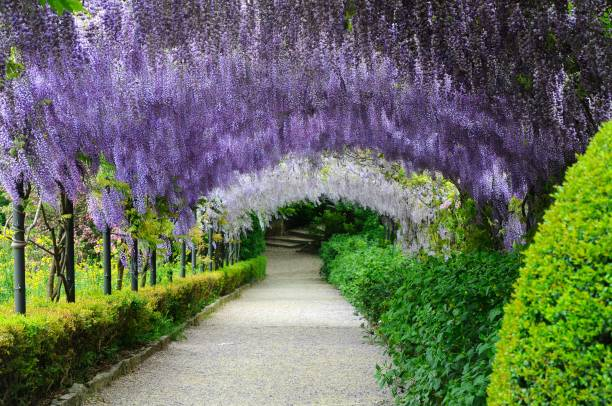 frühling in florenz, schöne lila glyzinien in bloom, italien. - blauregen stock-fotos und bilder