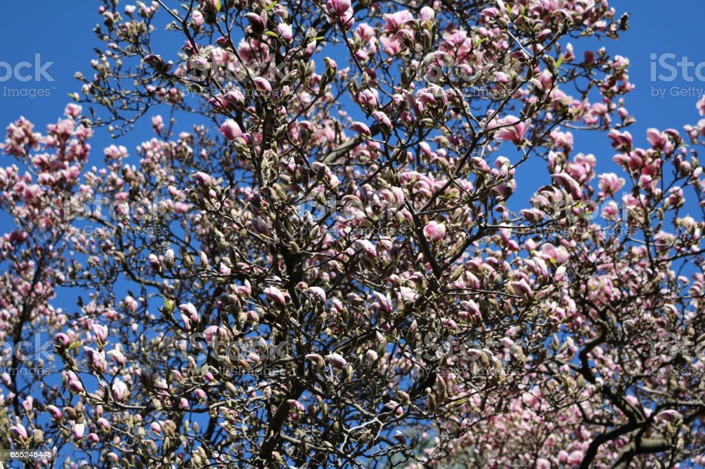 Spring In Full Bloom Magnolia Tree Stock Photo More Pictures Of