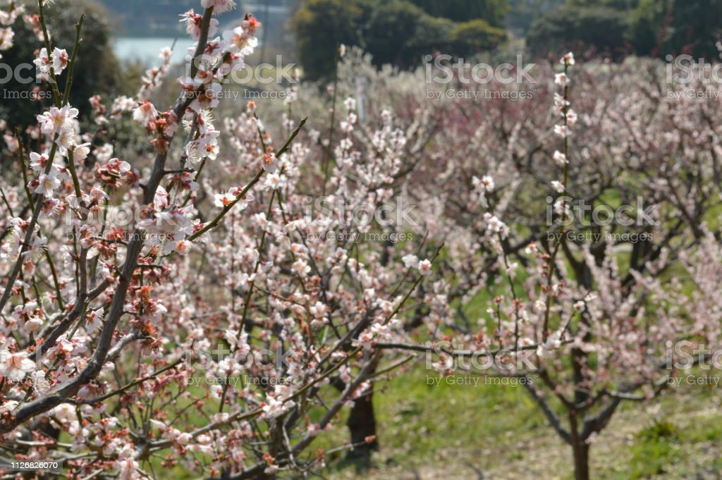Spring In Japan Plum Trees And Ponds That Bloom White Flowers