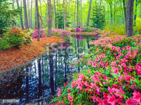 Spring Azalea Blossoms In Southern Woodland Garden