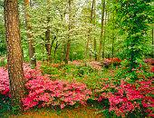 Spring garden in Alabama with dogwoods and azaleas.