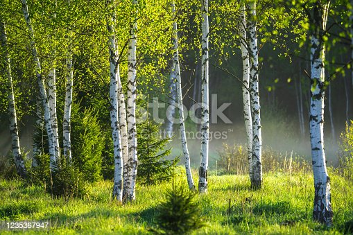Spring in the birch grove. Beautiful sunny day in the forest. Spring landscape with green birch trees.