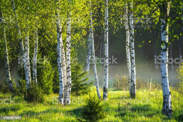 Photo of Spring in the birch grove