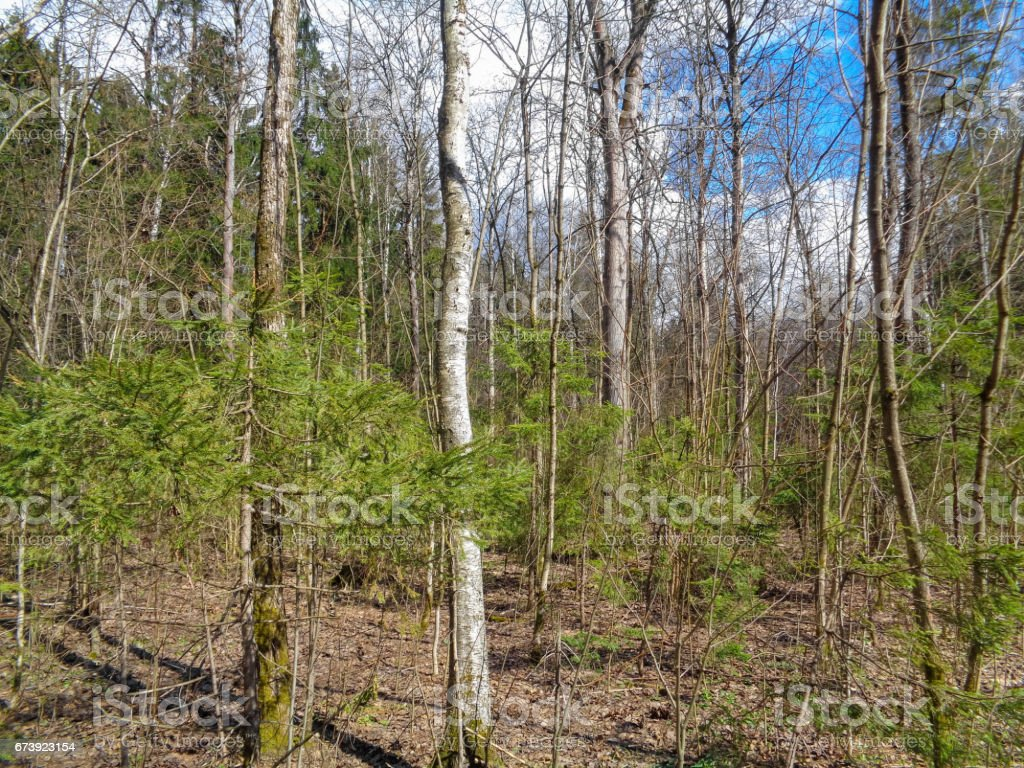 Spring in the forest. Sunny day in April. Nature of Eastern Europe foto de stock royalty-free