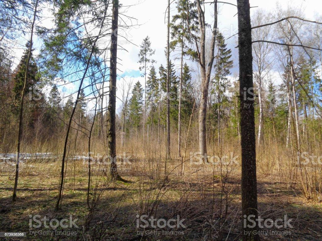 Printemps dans la forêt. Journée ensoleillée au mois d'avril. Nature de l'Europe photo libre de droits