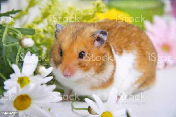 Spring in the hamster picture id844645526?b=1&k=6&m=844645526&s=612x612&h=07omvic6m38sfxa41g7rm cvj2pex2j7r2ayrmxnjhg=