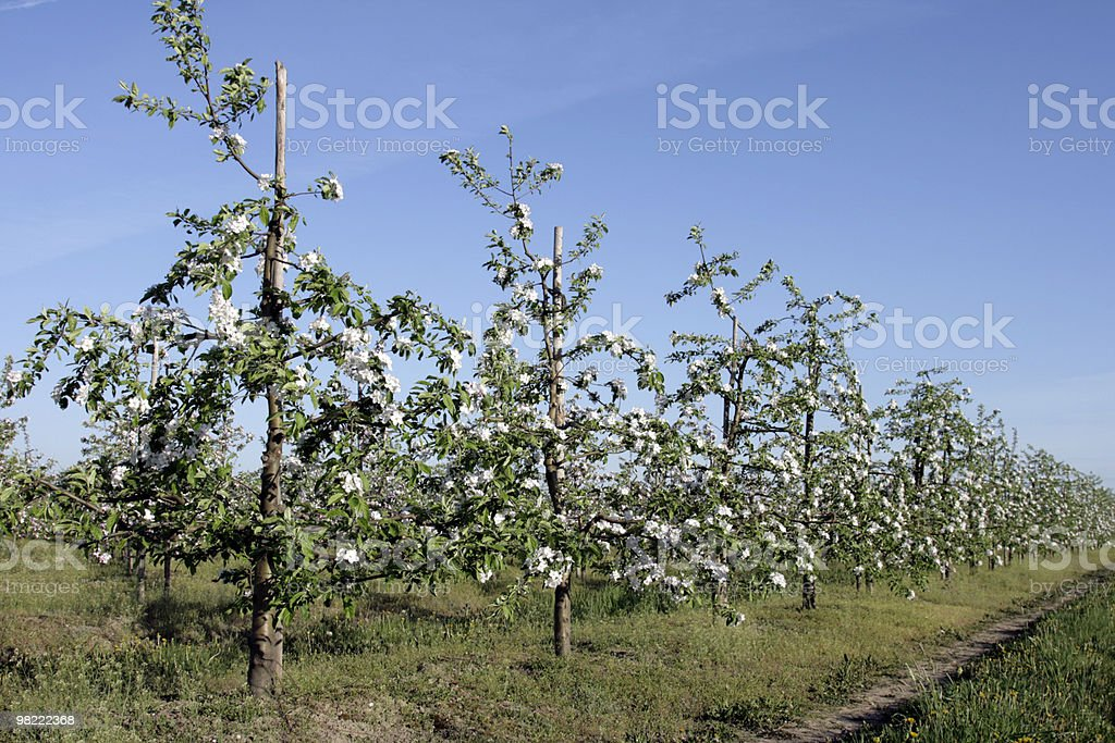 Spring in the orchard royalty-free stock photo