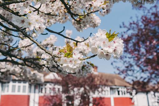 Blossoming cherry tree, London suburbs