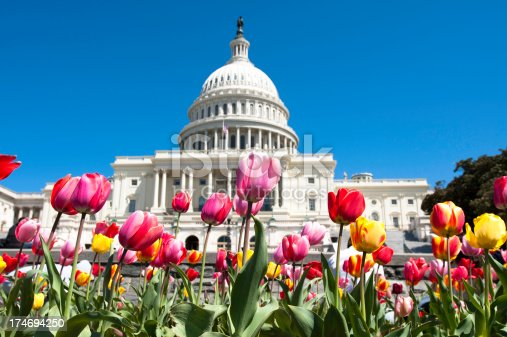 Tulips in front of the US Capitol building