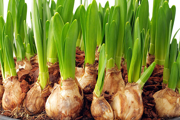 Spring is coming - full close up  plant bulb stock pictures, royalty-free photos & images