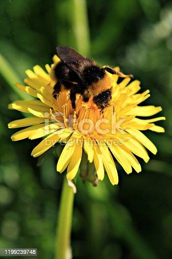 Bumblebee enjoying a dandelion