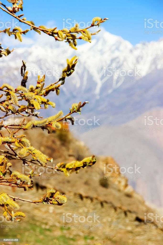 Spring is in the Himalayan mountains. Flowering willow. Kingdom of Upper Mustang. stock photo