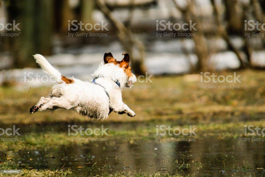 Spring joy at park: dog jumping over melting snow puddles stock photo