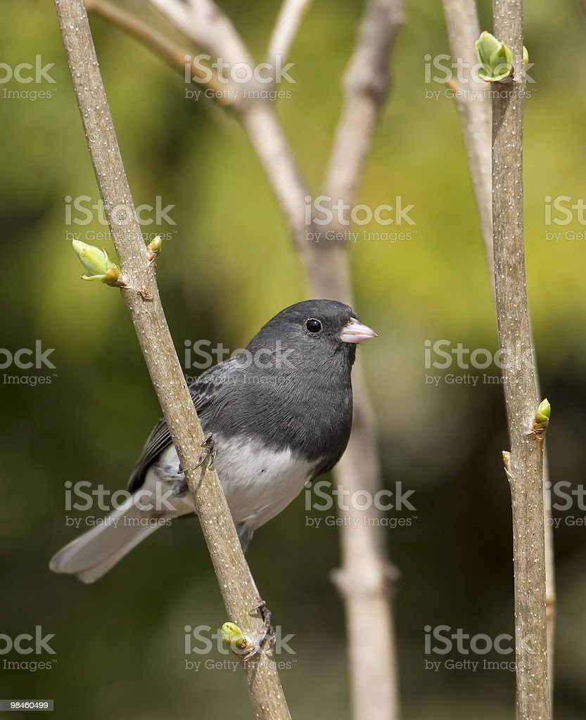 Spring Junco royalty-free stock photo