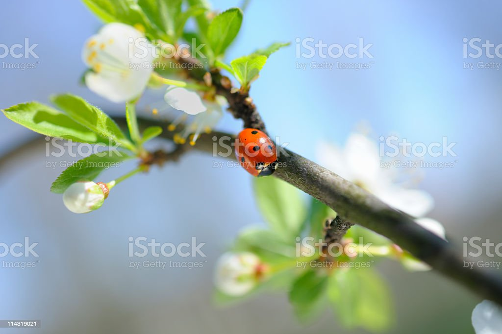 Spring Ladybird on Branch among Blossom royalty-free stock photo