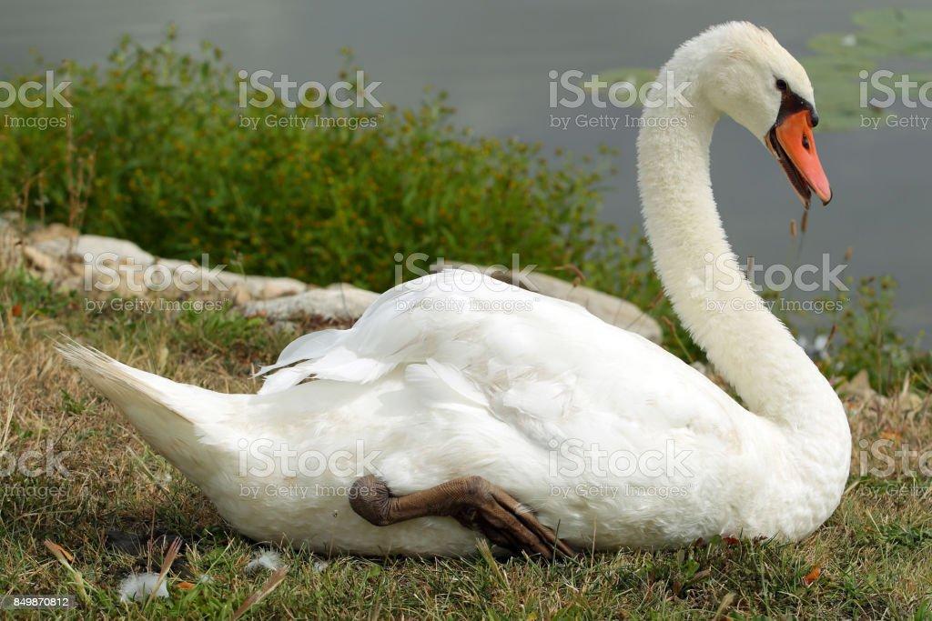 Spring Lake Fish and Wildlife Area - Trumpeter Swan - Cygnus buccinator stock photo