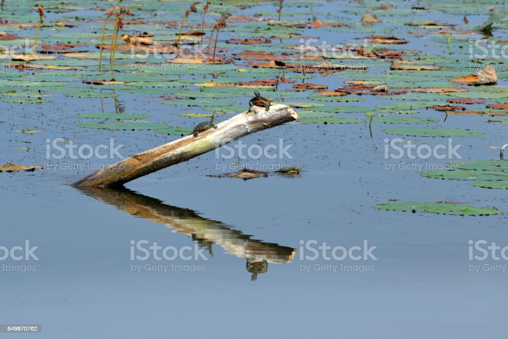 Spring Lake Fish and Wildlife Area - Turtle - River Cooter - Pseudemys concinna stock photo