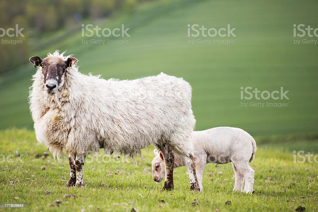 Spring lamb and ewe mother in rural farm landscape royalty-free stock photo