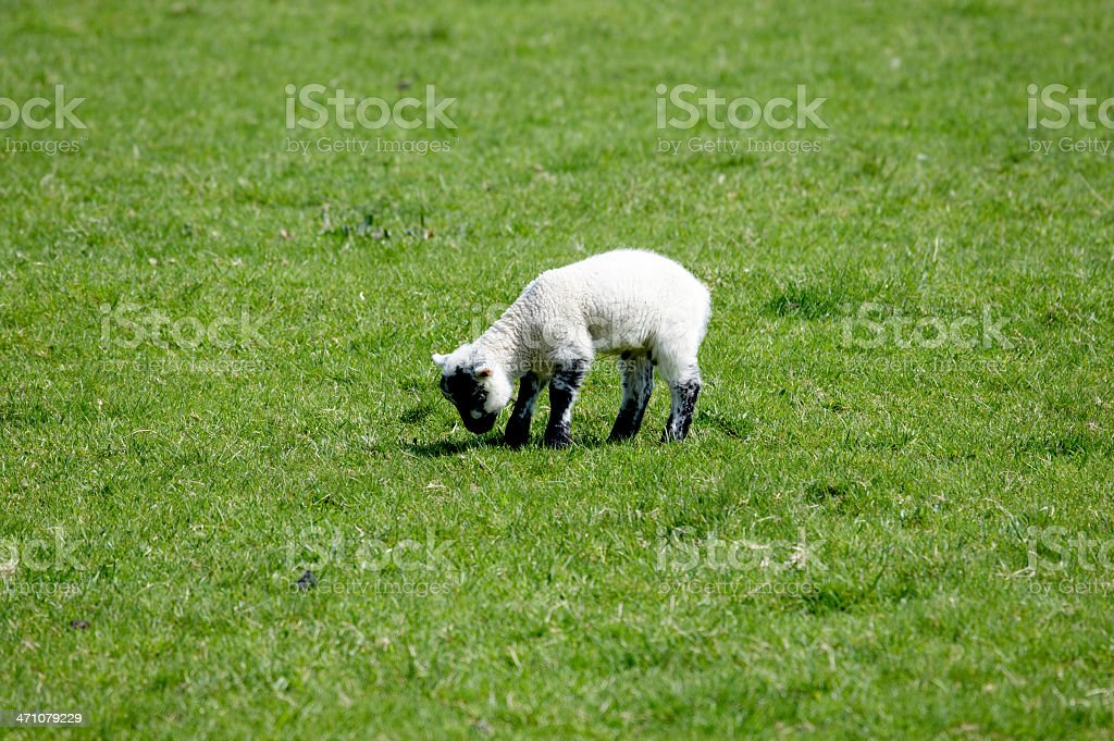 Spring lamb grazing royalty-free stock photo