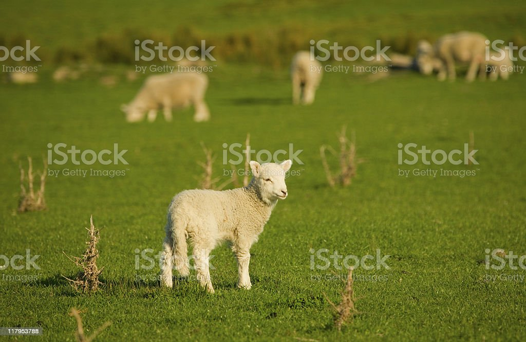 Spring Lamb, New Zealand meadow royalty-free stock photo