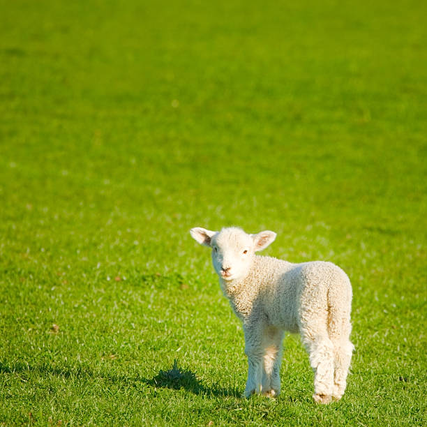 Spring Lamb, New Zealand meadow stock photo