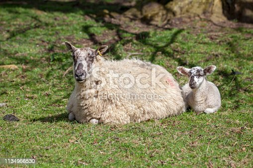 Spring Lamb lying next to its mother