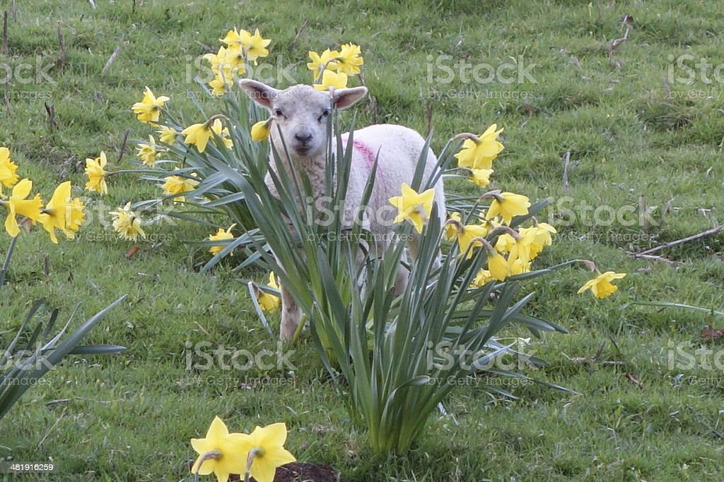 spring lamb playing in the daffodils stock photo