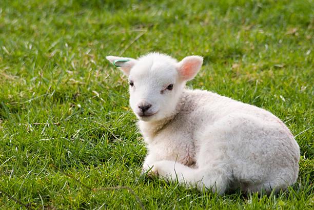 milchlamm ausruhen im feld - weißes lamm stock-fotos und bilder