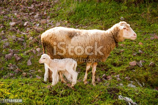 Spring Lamb with Mother