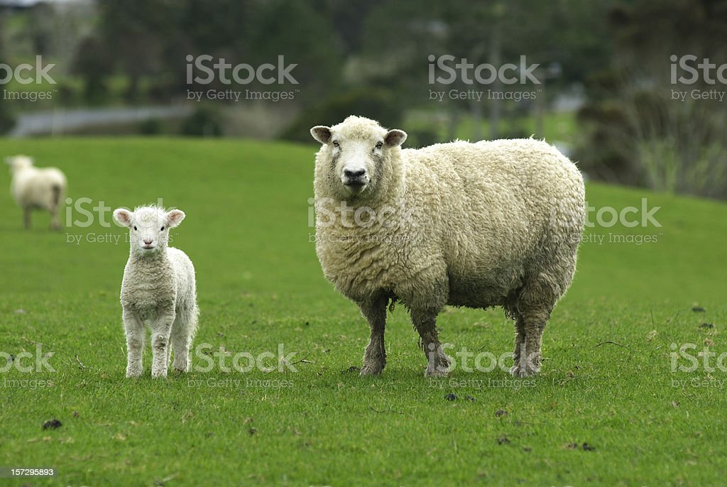 Spring Lamb with Mother stock photo