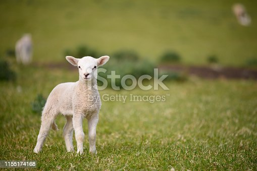Spring Lambs and Sheep in green grassy meadow