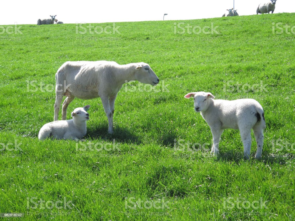 Spring lambs and sheep on grass cover dike - Royalty-free Agriculture Stock Photo