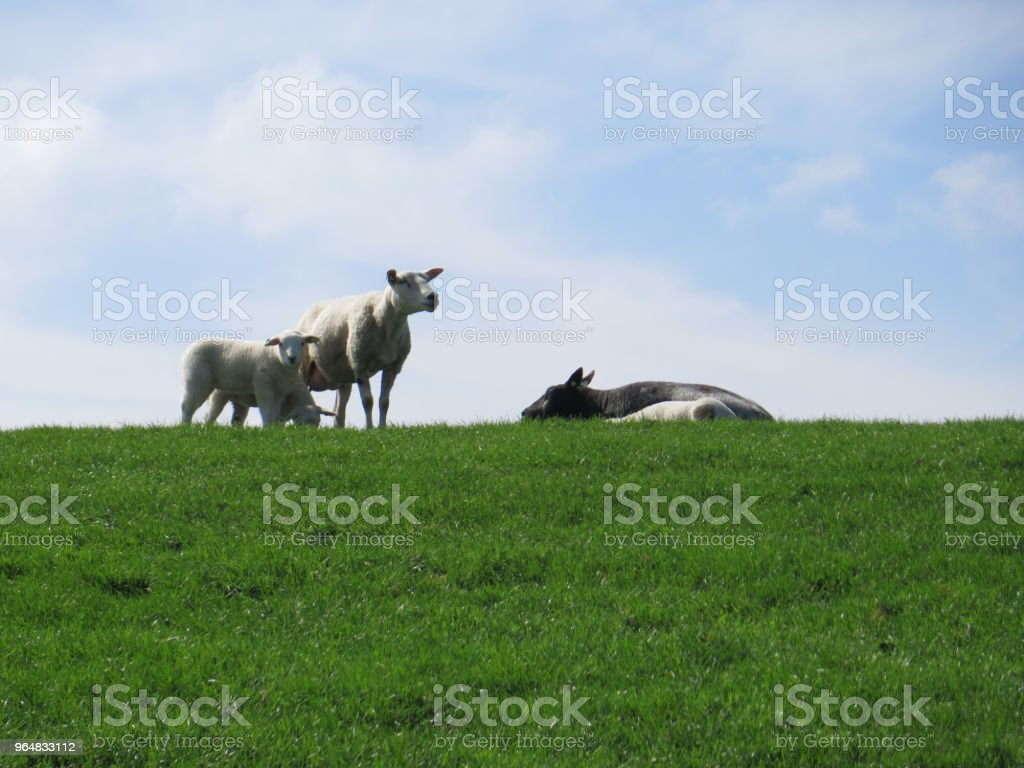 Spring lambs and sheep on grass cover dike royalty-free stock photo
