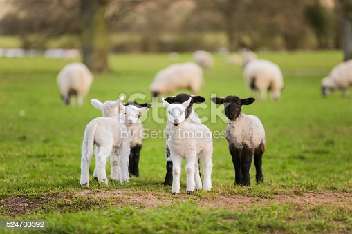 istock Spring Lambs Baby Sheep in A Field 524700392