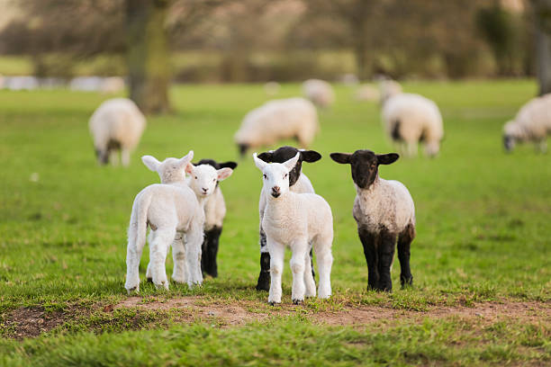 Primavera; o sea bebé en un campo ovejas - foto de stock