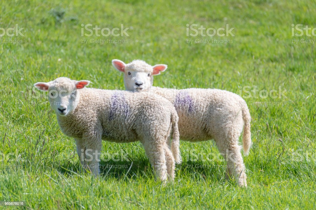 Spring lambs in the countryside royalty-free stock photo