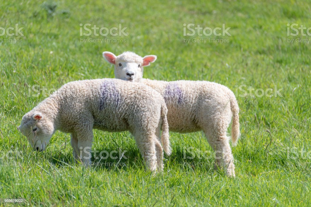 Spring lambs in the countryside stock photo