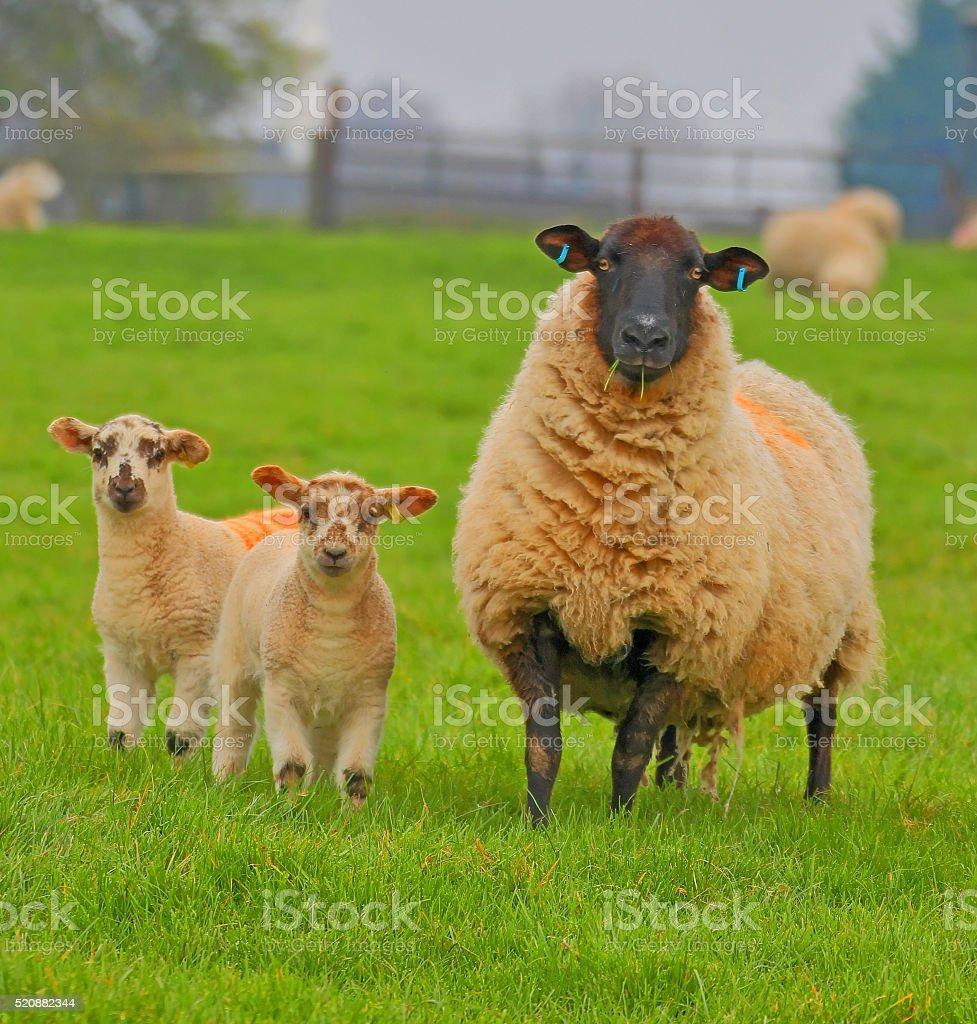 Spring lambs. stock photo