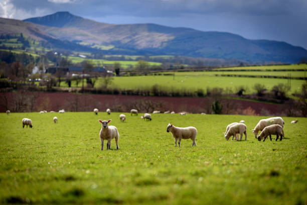 Spring Lambs A group of spring lambs beneath the Pen y Fan mountain range in South Wales wales stock pictures, royalty-free photos & images