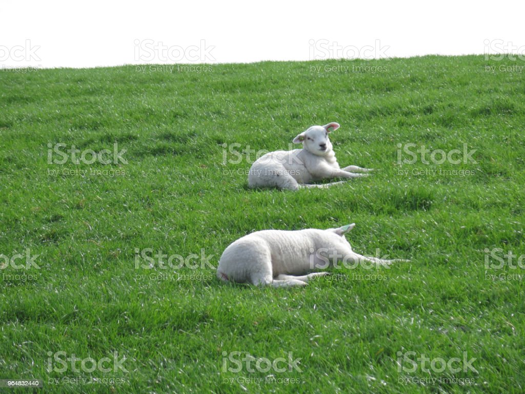 Spring lambs resting on grass cover dike royalty-free stock photo