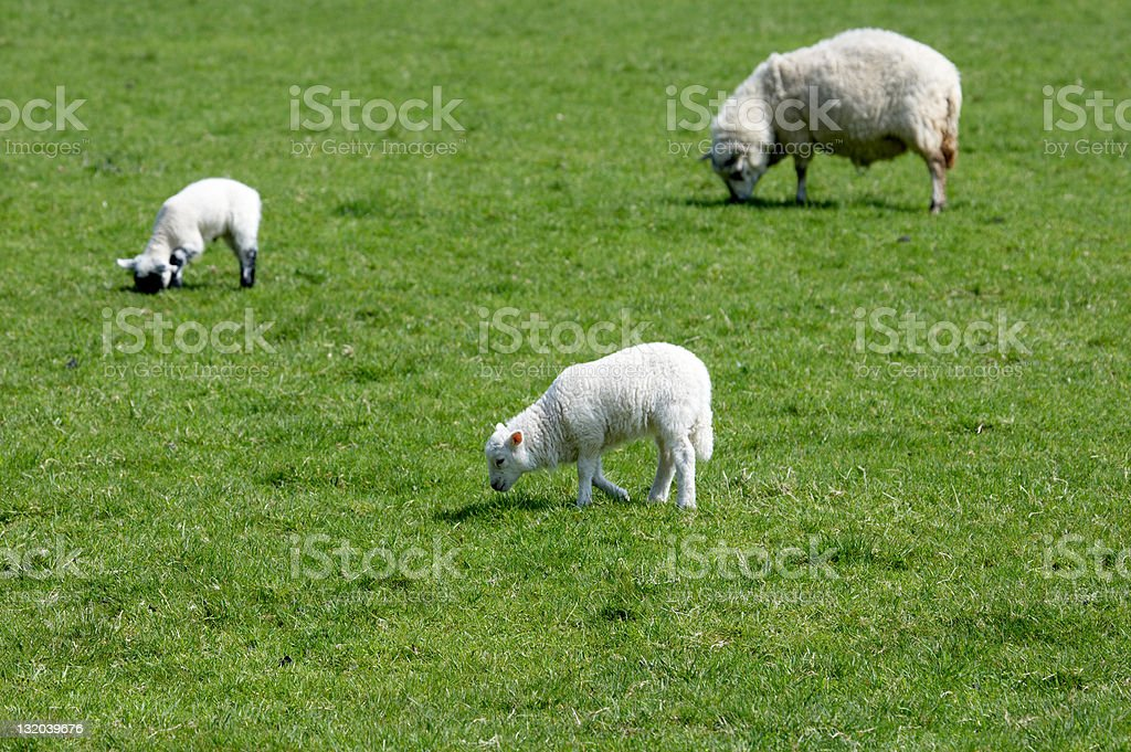 Spring lambs with mother royalty-free stock photo